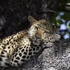 Leopardensiesta, Xigera Camp, Okavangodelta © Foto: Dana Allen | Wilderness Safaris