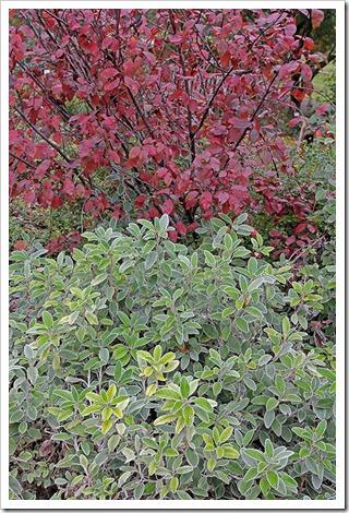 Brachyglottis-Sunshine Cotinus-coggygria