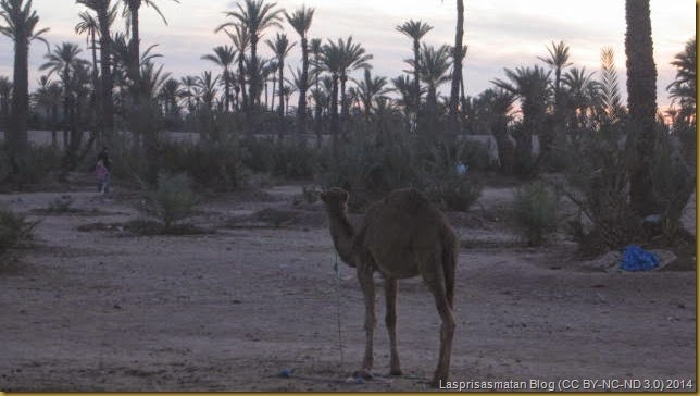 Parte del palmeral de Marrakesh hoy muy atacado por el urbanismo desmedido que provoca el turismo