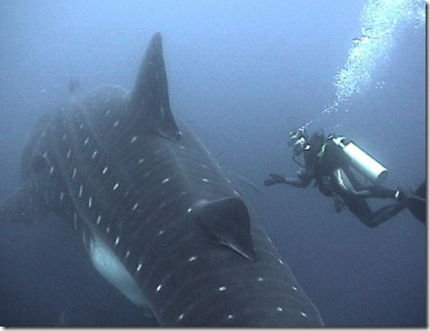 whale shark iii