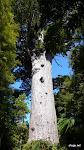 Kauri Bäume, Waipoua Forest