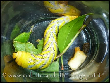 Larva di falena sfinge testa di morto (17)