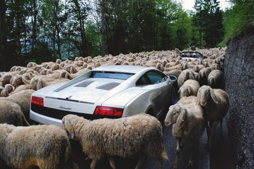 lamborghini sheep animal.jpg