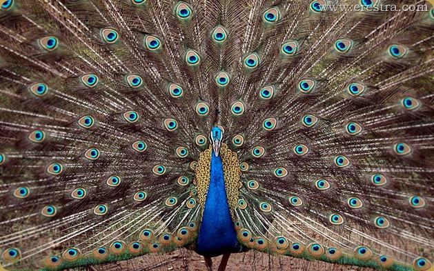 टाटा स्टील, जमशेदपुर के चिड़ियाघर में मोर (Peacock at Tata Steel Zoological Park in Jamshedpur)