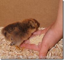 Easter Egger Baby Chick