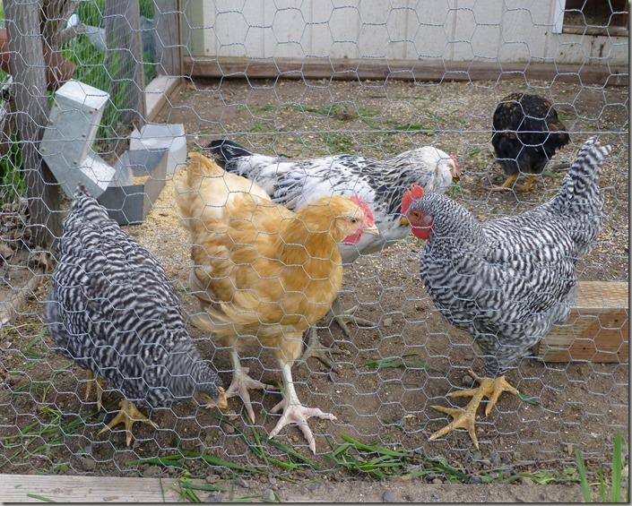 more chicks 057