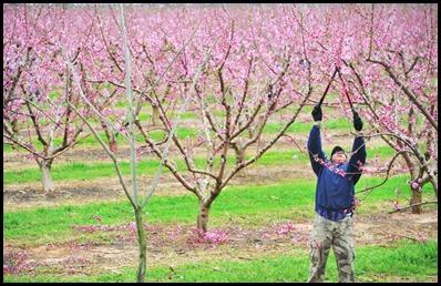 peach tree5
