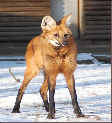 Amazing Animal Pictures The Maned Wolf (9)