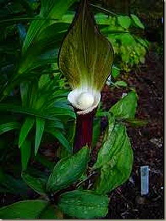 arisaema sikokianum