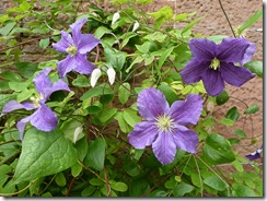 bhd clematis
