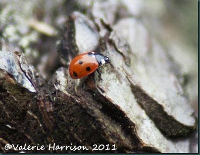 3-7-spot-ladybird