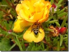 včely na květech 096