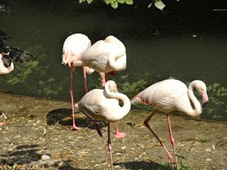 2014.07.19-024 flamants roses