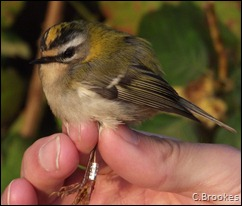 Firecrest 1cy Female.