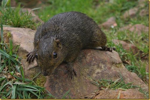borneo-squirrel