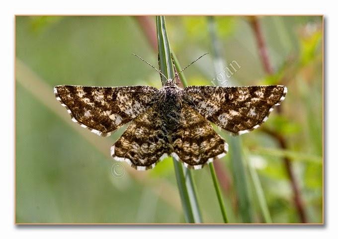 Day Moth 10  Common Heath