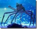 JapaneseSpiderCrab
