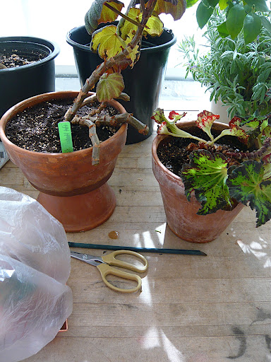 Fear not, hardy begonia friends. You will leaf out again and look anew soon enough. Likely within the same time the cuttings root...wish us all luck! Are you up to try with me?