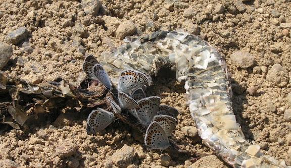 Plebejus subsolanus EVERSMANN, 1851 (= Lycaeides idas L., 1761), sur un cadavre de serpent. Aurovka, au sud d'Anutchino (Primorskij Kraj, Russie), 1er juillet 2011. Photo : Jean Michel