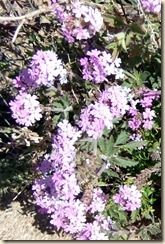 Gooding's Verbena 3-3-2012 10-28-55 AM 1007x1500