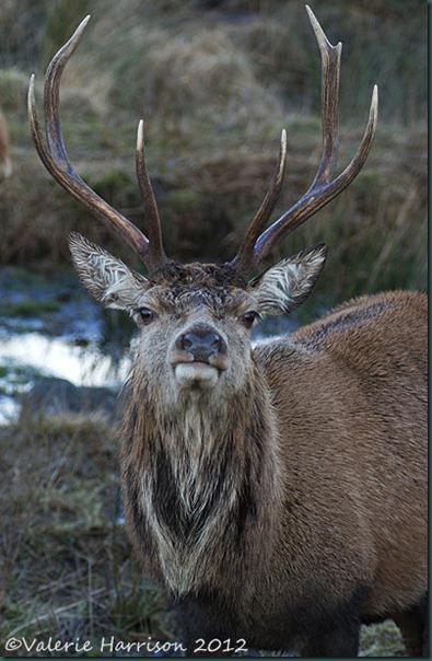 14-red-deer