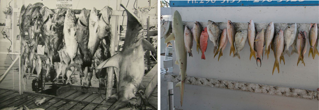 These images were taken from the same display board, from the same dock, from the same recreational fishery in Key West, Florida. The board displays the largest trophy fish that were caught that day. You can clearly see that with time, the 'largest' caught fish get significantly smaller and smaller. Source: McClenachan, Loren. 2009. Documenting Loss of Large Trophy Fish from the Florida Keys with Historical Photographs. Conservation Biology 23, 3:636-643. Photo: Loren McClenachan