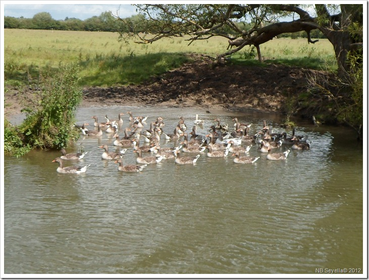 SAM_1159 Gooses