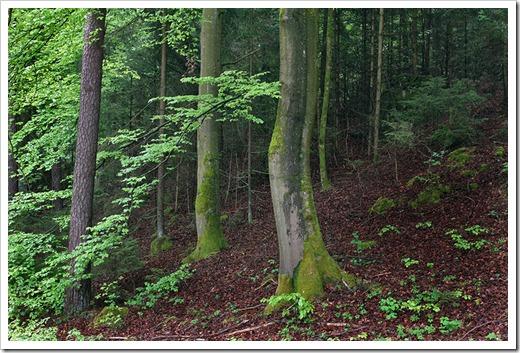 120506_beech-forest_04