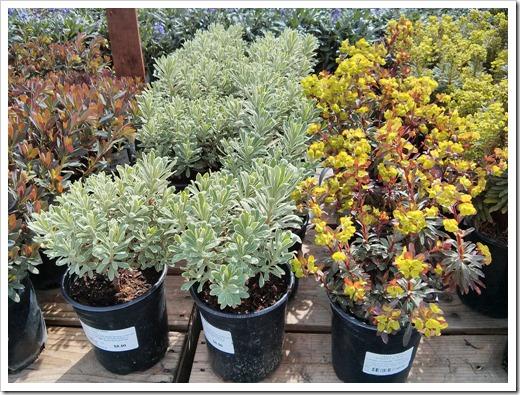 130315_GreenAcresFolsom_Euphorbias