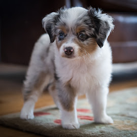 Chloe by Ron Meyers - Animals - Dogs Portraits ( miniature australian shepard )