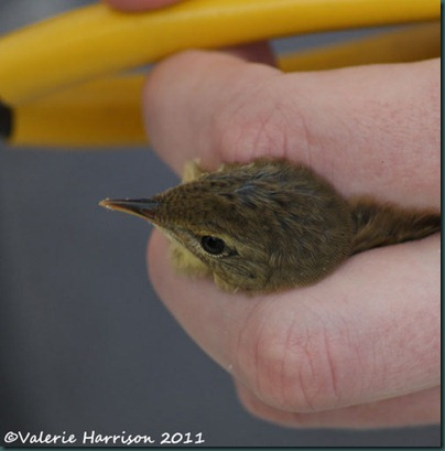 5 grasshopper-warbler-1