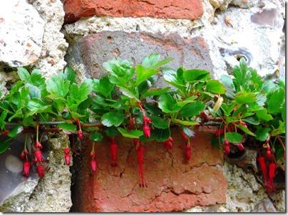 Espalier Fuchsia2-small