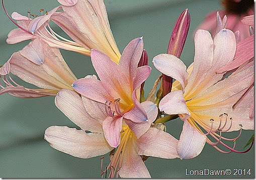 Lily Resurrection Lycoris squamigera Naked Ladies
