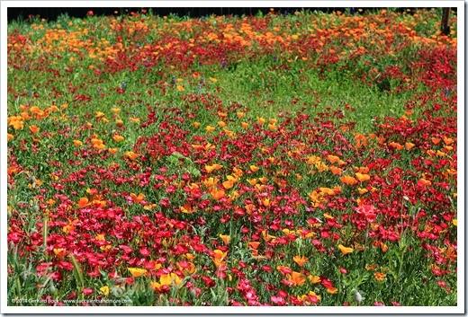 140414_SoDavis_wildflower_meadow_015