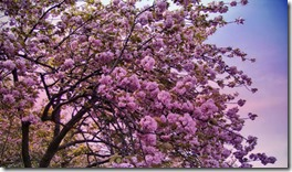 Sakura começa a florescer em Tóquio