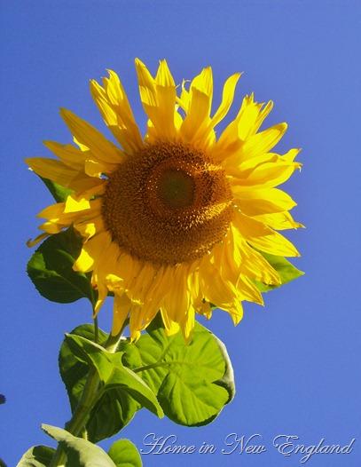 sunflower 007