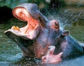 Amazing Pictures of Animals, Photo, Nature, Incredibel, Funny, Zoo, Hippopotamus, Hippopotamus amphibius, Mammals, Artiodactyl, Alex (17)