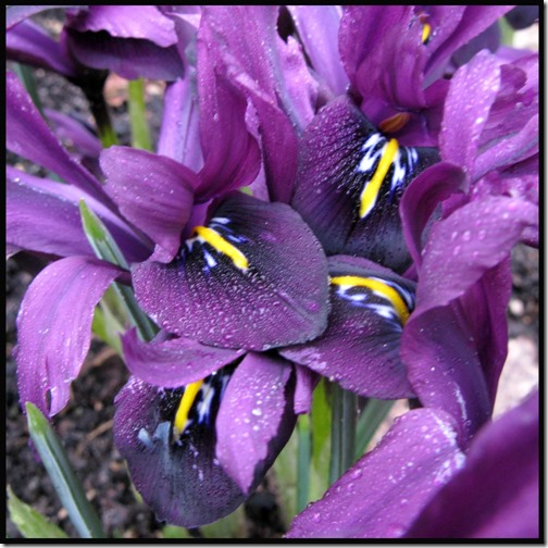 Iris reticulata 'Purple gem'
