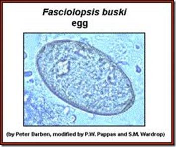 Facoliopsis buskii