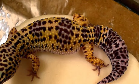 Amazing Pictures of Animals, Photo, Nature, Incredibel, Funny, Zoo, Eublepharis macularius, Leopard gecko, Alex (7)