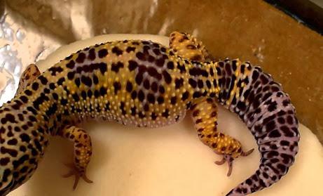 Amazing Pictures of Animals, Photo, Nature, Incredibel, Funny, Zoo, Eublepharis macularius, Leopard gecko, Alex (7)