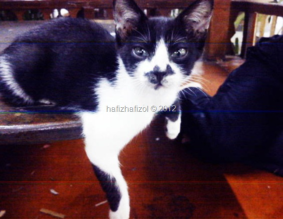 kucing hitam tompok putih