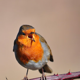 A singing Robin by Tony Steele - Animals Birds ( robin )