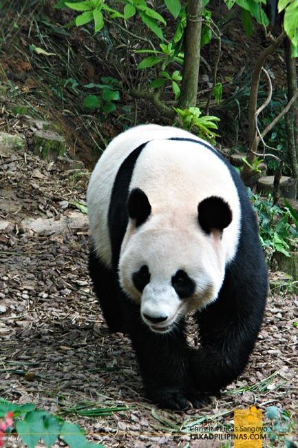 Jia Jia, One of Singapore's Giant Pandas, Walking About
