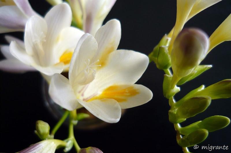 fresias primaverales - montevideo