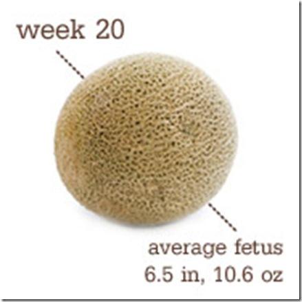 20 weeks - cantelope