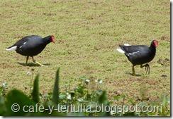 Fauna humedal la Conejera, tingua pico rojo