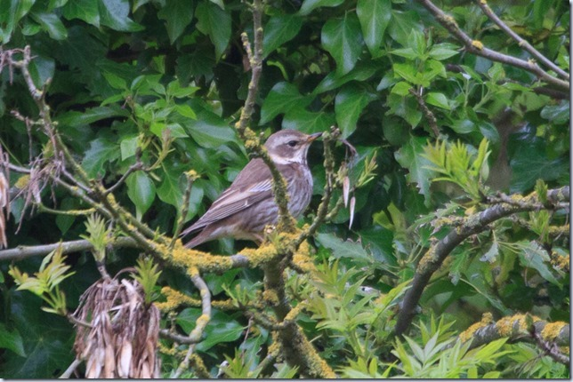 Margate_DuskyThrush-1