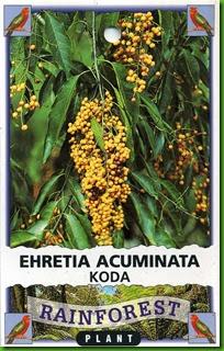 Ehretia acuminata