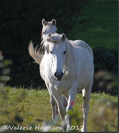 53-White-Horses